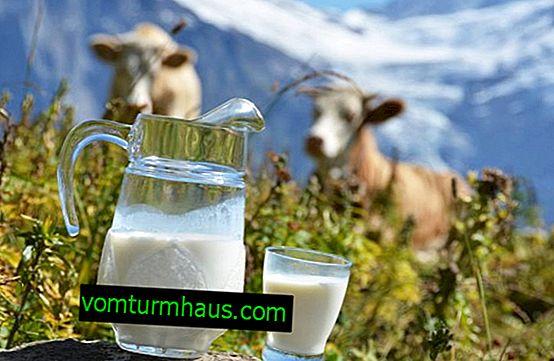 Zašto krava ima mlijeko?