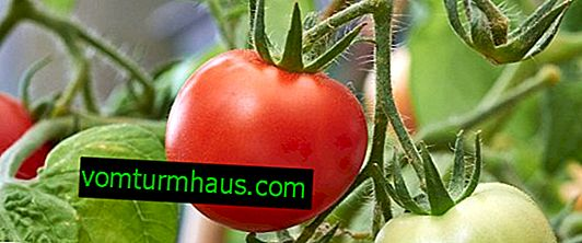 Kako hraniti paradižnik s kvasom: najboljši recepti za gnojila