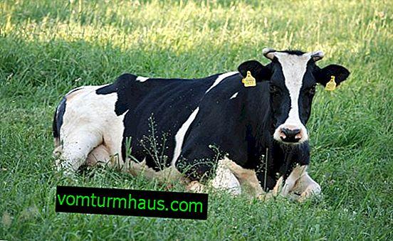 Zarazni rinotraheitis goveda: simptomi i liječenje