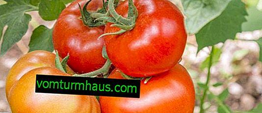 """Tomater """"Mashenka"""": beskrivning, odling jordbruksteknik"""