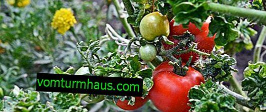 """Paradajky """"Stick"""": opis odrody, kultivačná poľnohospodárska technika"""