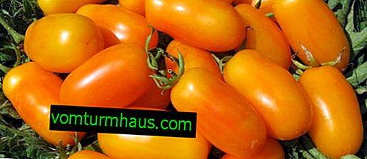 Tomato Banana legs variety description - cultivation and care features