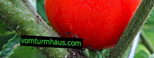 Hvordan slipper man af med bladlus på tomater derhjemme med folkemæssige og kemiske midler?