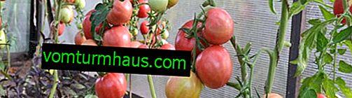 """Tomat """"Pride of Sibirien"""": beskrivning och särdrag hos sorten, särskilt vård och odling"""