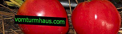 """Pomidory """"Orzeł dziób"""": opis, uprawa rolna"""