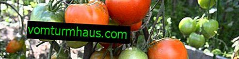 Forarbejdning af tomatfuratsilinom fra phytophthora: grundlæggende regler, opløsningsforberedelse