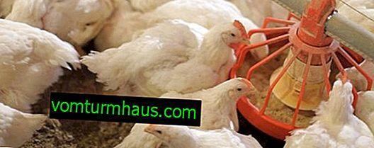 Matande slaktkroppar hemma: grundregler, funktioner för underhåll och vård