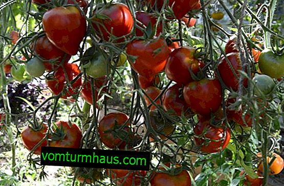 "Tomatoes ""Jubilee Tarasenko"": description, cultivation agricultural technique"