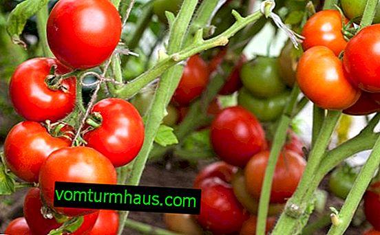 Ako často a ako správne zalievať paradajky v skleníku
