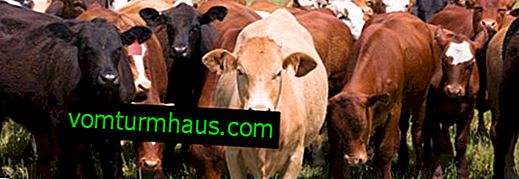 Cattle foot and mouth disease: symptoms and treatment