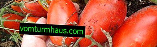 """Tomate """"Lady's fingers"""": una descripción de la variedad, especialmente el cultivo y el cuidado."""