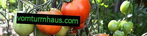 """Tomaten """"Dubrava"""": Sortenbeschreibung, Anbau landwirtschaftlicher Technik"""