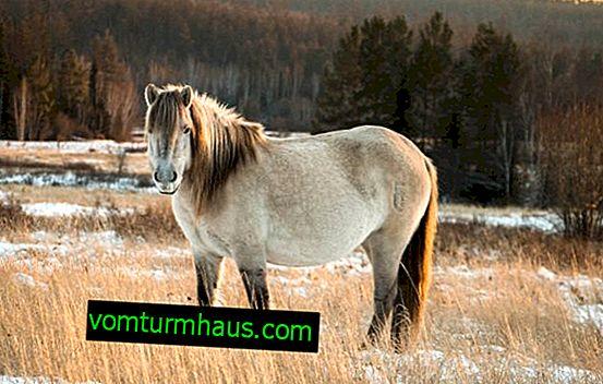 Yakuthäst: rasbeskrivning, vård och underhåll