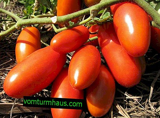 "Rajčica ""Banana Red"": opis sorte, sadnja, uzgoj i njega"