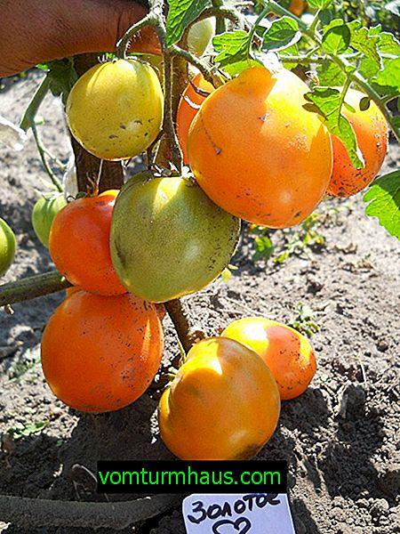 """Rajčata """"Zlaté srdce"""": popis odrůdy, setí, kultivace a péče"""