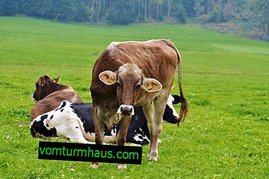 Vad bör temperaturen på ko