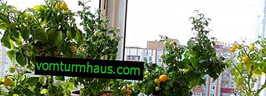 Как да отглеждаме домати на балкона у дома: инструкции стъпка по стъпка за сеитба и грижи