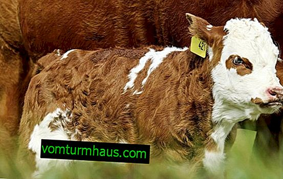 How to name a calf: boy and girl
