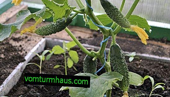Pěstování okurek ve skleníku z polykarbonátu: vlastnosti a pravidla péče