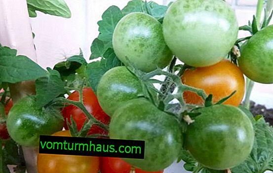 Tomates Pinocchio: description, faire pousser une maison sur un rebord de fenêtre et en pleine terre