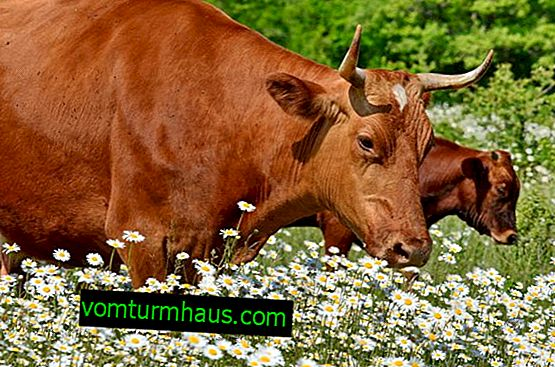 Начини на осеменяване на кравите: правилната техника и подготовка