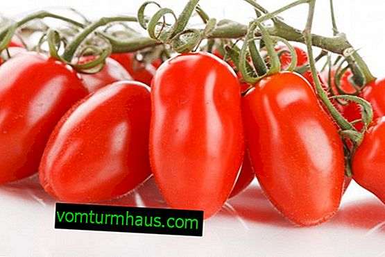 """Tomater """"fransk bundt"""": sortsbeskrivelse, dyrkning af landbrugsteknikker"""
