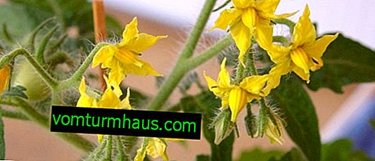 What and how to feed tomatoes during flowering and fruiting in the greenhouse