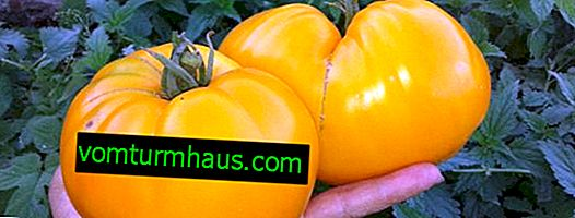 """Tomat """"Bull's heart"""": variation beskrivelse, dyrkning og pleje funktioner (i åben jord og drivhus)"""