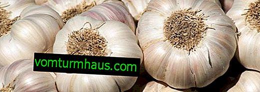 Jak pěstovat česnek ve velkých hlavách