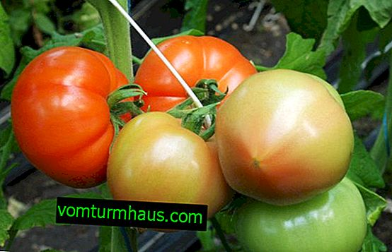 "Rajčata ""Maryina grove"": vlastnosti, vlastnosti kultivace"