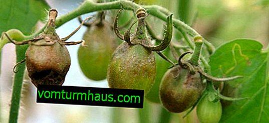 Come affrontare la peronospora sui pomodori con l'aiuto di rimedi popolari in una serra e in piena terra