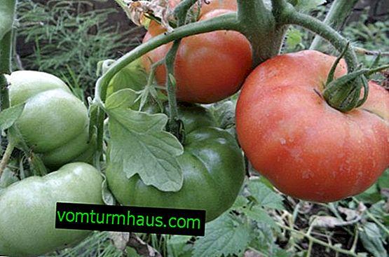 """Tomates """"Cosmonaute Volkov"""": caractéristiques, plantation et soin"""