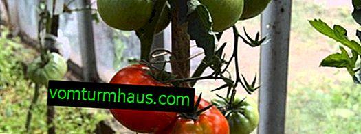 """Tomate """"Idol"""": descripción, técnica de cultivo agrícola"""