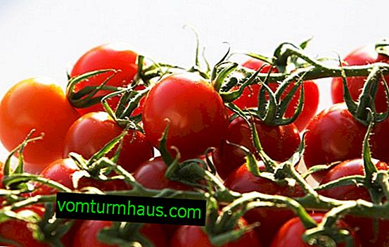 Pomidory czereśniowe: cechy uprawy i pielęgnacji na otwartym terenie i w szklarni