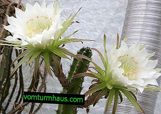 Garrizia plant: description, care and growing at home