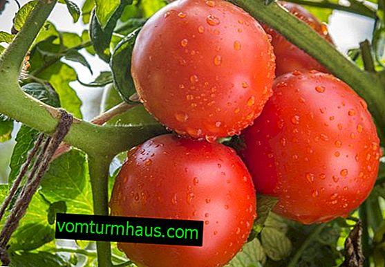 """Rajčata """"Katya"""": vlastnosti, vlastnosti pěstování"""