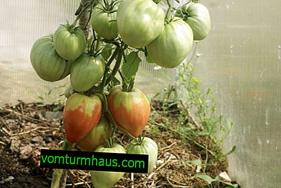 Pudovik Tomatoes: characteristics, features of cultivation