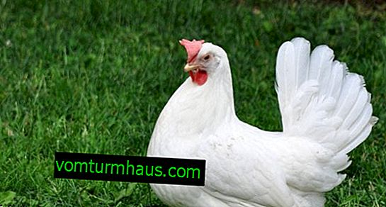 Breed of white hens Leghorn: description, care and feeding