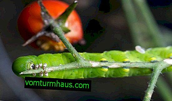 Sådan behandles tomater fra larver i et drivhus