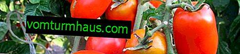 Pink Stella tomater: beskrivelse, dyrkning af landbrugsteknikker