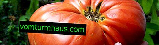 Odmiany pomidorów Minusinsk