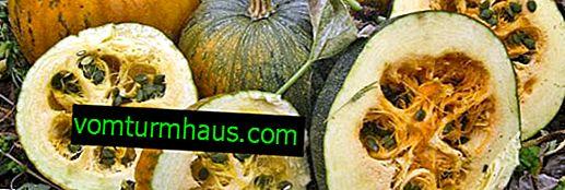 Gymnospermous pumpa: beskrivning, funktioner för odling och användning